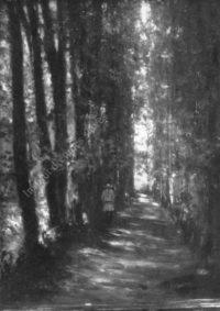 LNTI 8.07 L.N. Tolstoï dans l'allée de bouleaux menant à la maison de Iasnaïa Poliana